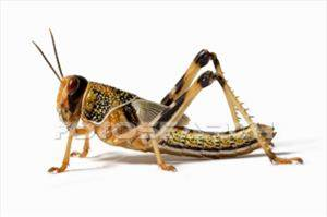 Stock Photography - locust (acrididae family), close-up, side view. fotosearch - search stock photos, pictures, images, and photo clipart